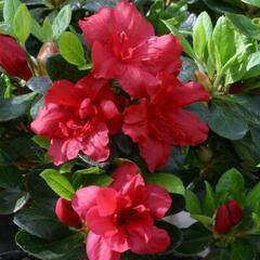 Azalka japonská 'Florida' - Azalea japonica 'Florida'