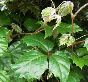 Žumen jižní - Cissus rhombifolia