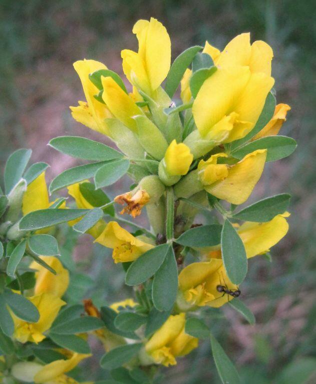 Čilimník podolský - Cytisus podolicus