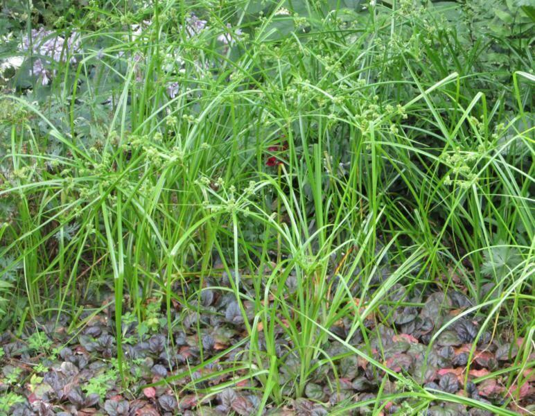 Šáchor - Cyperus glaber