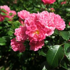 Růže půdopokryvná 'The Lovely Fairy' - Rosa PK 'The Lovely Fairy'
