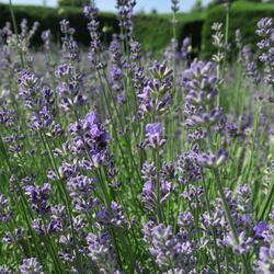 Levandule úzkolistá 'Munstead Strain' - Lavandula angustifolia 'Munstead Strain'