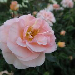 Růže mnohokvětá Kordes 'Sangerhäuser Jubiläums-Rose' - Rosa MK 'Sangerhäuser Jubiläums-Rose'