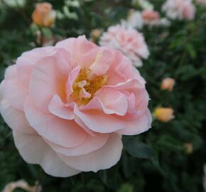 Růže mnohokvětá Kordes 'Sangerhäuser Jubiläums-Rose' ('Cervia') - Rosa MK 'Sangerhäuser Jubiläums-Rose' ('Cervia')