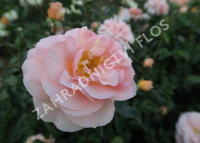 Růže parková Kordes 'Sangerhäuser Jubiläums-Rose' - Rosa S 'Sangerhäuser Jubiläums-Rose'