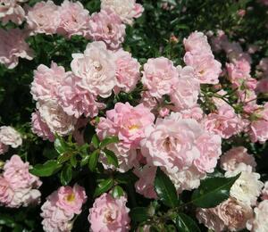 Růže půdopokryvná 'The Fairy' - Rosa PK 'The Fairy'