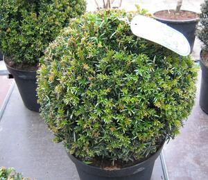 Tis červený - Taxus baccata - koule