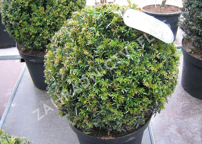 Tis červený - koule - Taxus baccata - koule