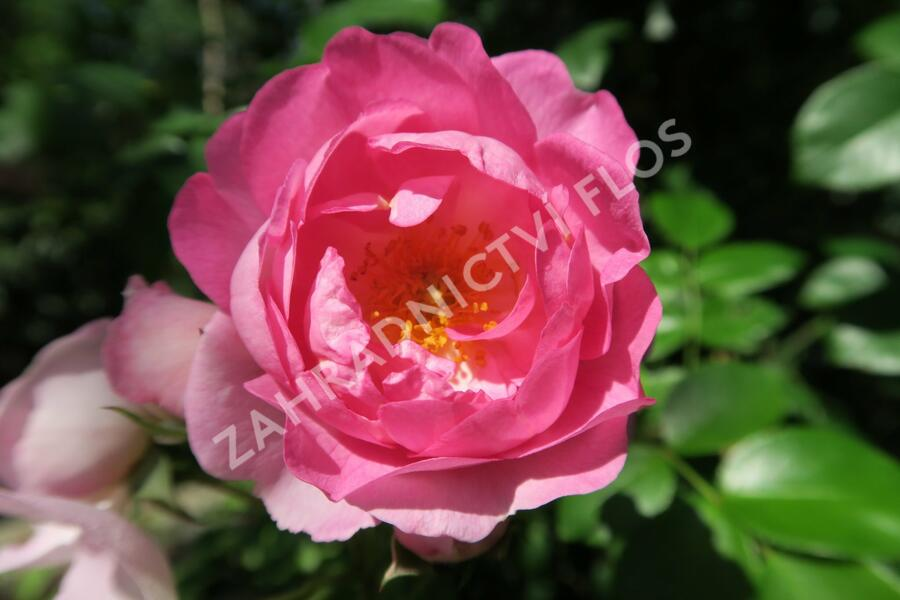 Růže pnoucí Kordes 'Jasmina' - Rosa PN 'Jasmina'