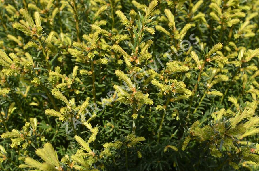 Tis červený - Taxus baccata