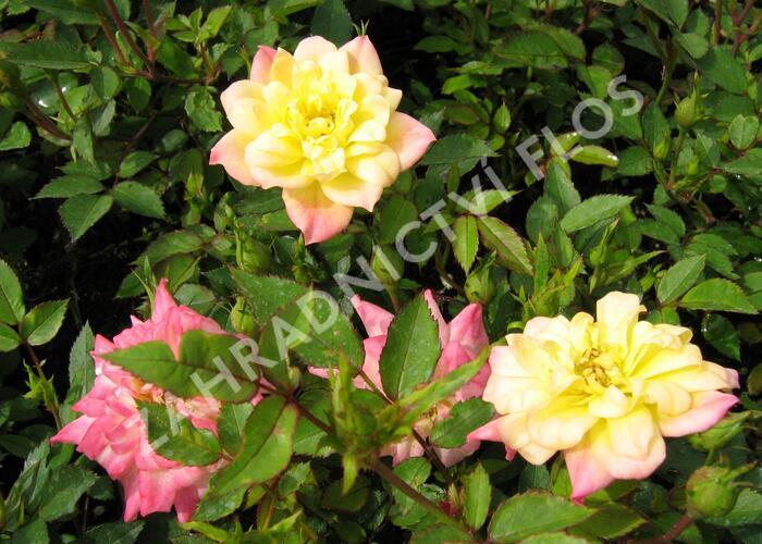 Růže mini 'Tricolor' - Rosa MI 'Tricolor'