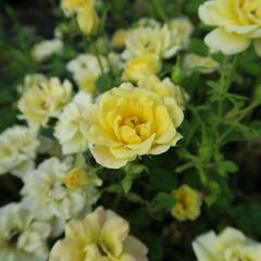 Růže půdopokryvná Poulsen 'Yellow Fairy' - Rosa PK 'Yellow Fairy'