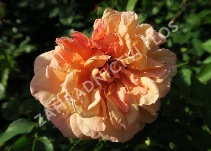 Růže pnoucí Kordes 'Aloha' - Rosa PN 'Aloha'