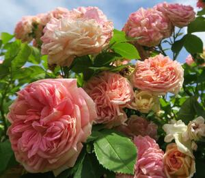 Růže pnoucí 'Alchymist' - Rosa PN 'Alchymist'