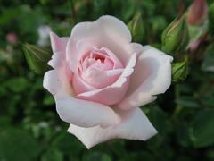Růže pnoucí 'New Dawn' - Rosa PN 'New Dawn'