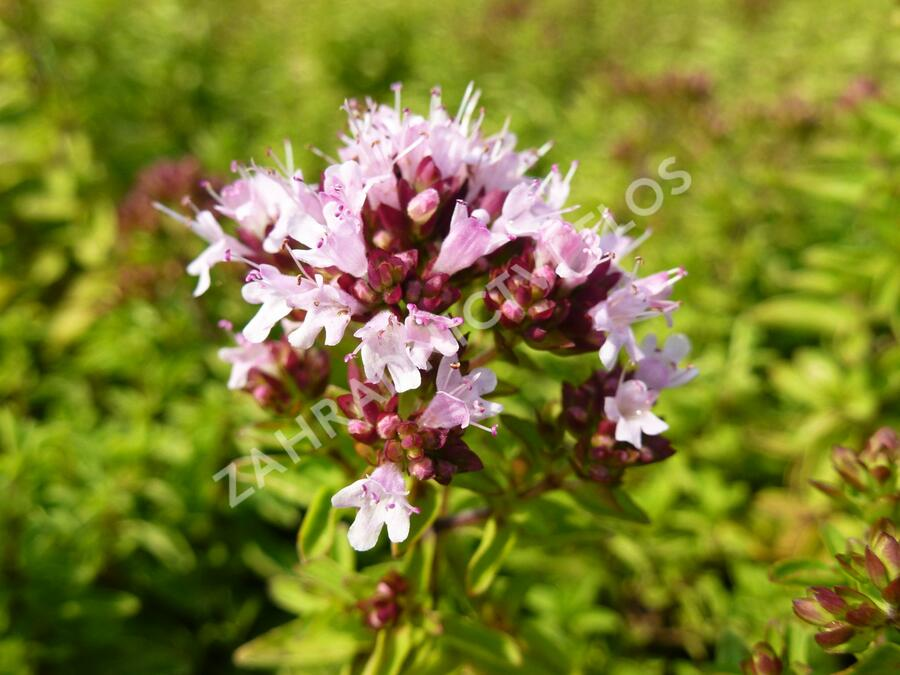Dobromysl obecná 'Diabolo' - Origanum vulgare 'Diabolo'