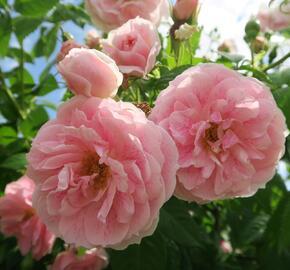 Růže pnoucí 'Kir Royal' - Rosa PN 'Kir Royal'