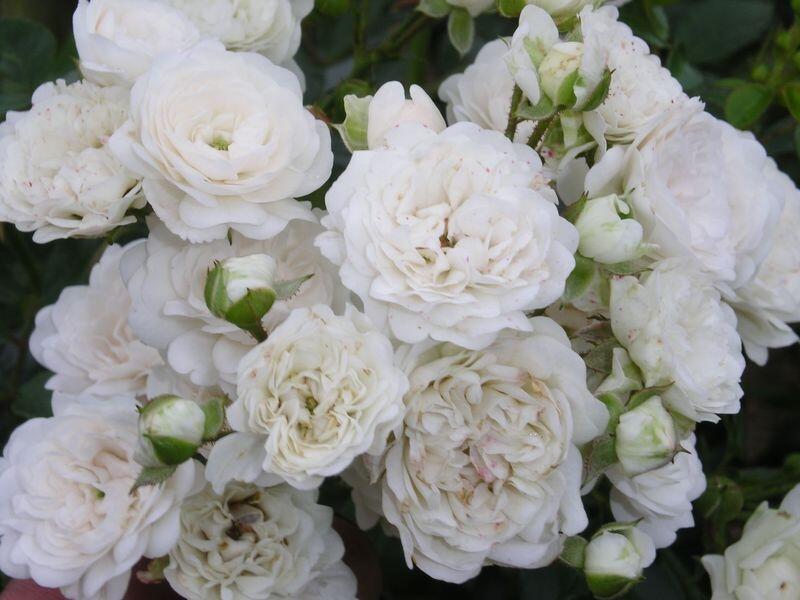 Růže půdopokryvná 'White Fairy' - Rosa PK 'White Fairy'