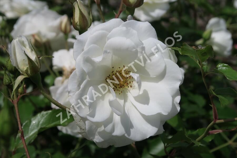 Růže mnohokvětá Kordes 'Schneewittchen' - Rosa MK 'Schneewittchen'