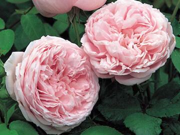 Anglická růže Davida Austina 'Spirit of Freedom' - Rosa S 'Spirit of Freedom'