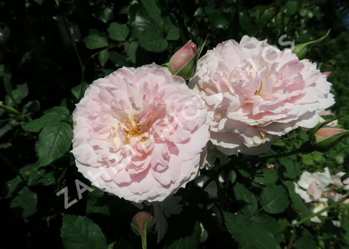 Anglická růže Davida Austina 'Lady Salisbury' - Rosa S 'Lady Salisbury'