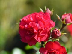 Růže mnohokvětá Kordes 'Gärtnerfreude' (Toscana) - Rosa MK 'Gärtnerfreude' (Toscana)