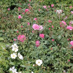 Růže mnohokvětá Tantau 'Mirato' - Rosa MK 'Mirato'