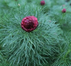 Pivoňka úzkolistá 'Plena' - Paeonia tenuifolia 'Plena'