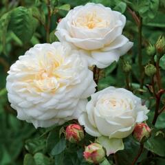 Anglická růže Davida Austina 'Tranquillity' - Rosa S 'Tranquillity'