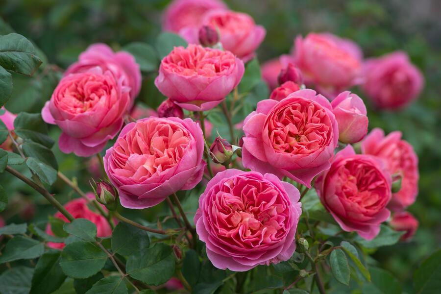 Anglická růže Davida Austina 'Boscobel' - Rosa S 'Boscobel'