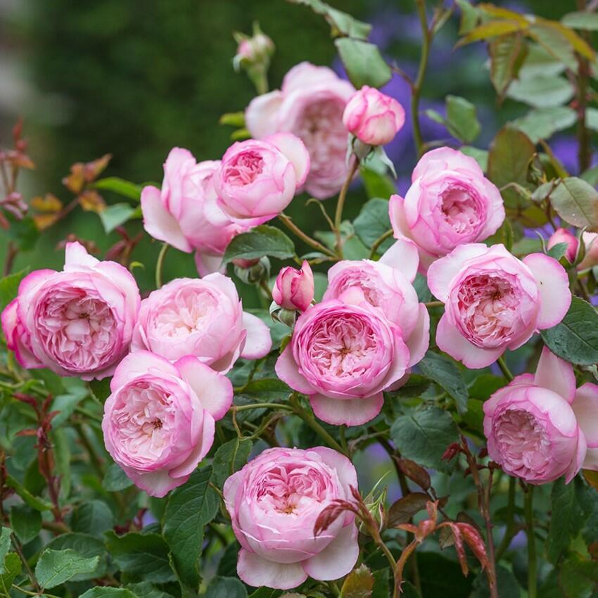 Anglická růže Davida Austina 'The Mill on the Floss' - Rosa S 'The Mill on the Floss'