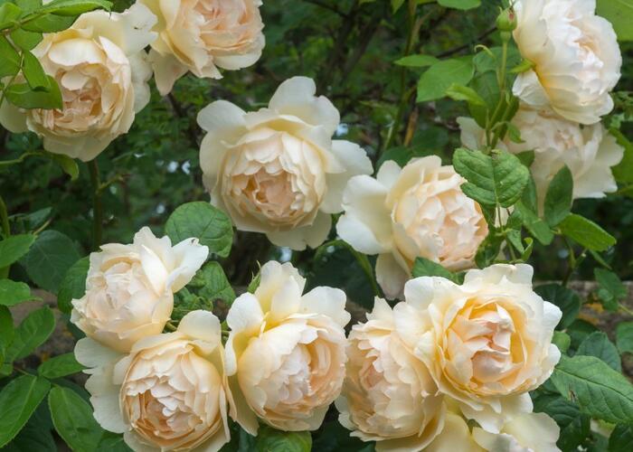 Anglická růže Davida Austina 'Wollerton Old Hall' - Rosa S 'Wollerton Old Hall'