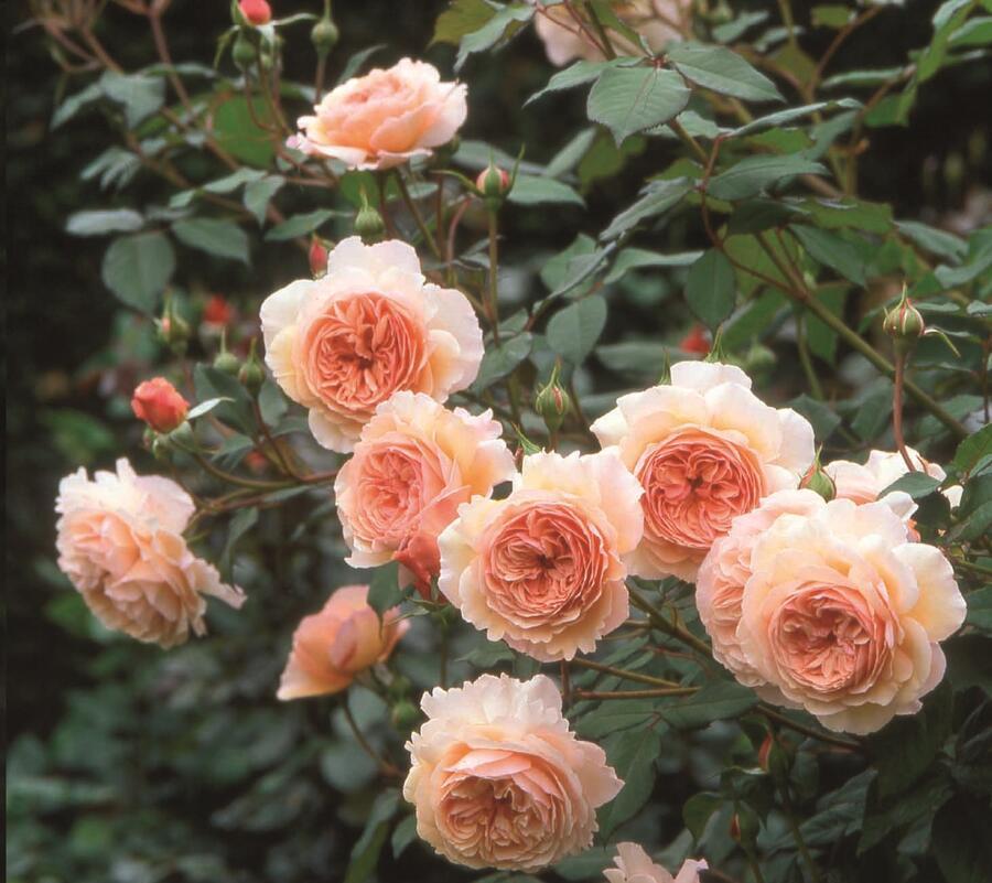 Anglická pnoucí růže Davida Austina 'A Shropshire Lad' - Rosa PN 'A Shropshire Lad'