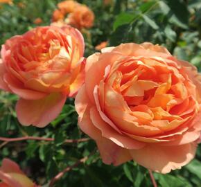 Anglická růže Davida Austina 'Lady of Shalott' - Rosa S 'Lady of Shalott'