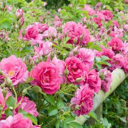 Anglická růže Davida Austina 'Wild Edric' - Rosa S 'Wild Edric'