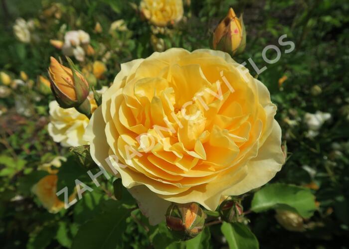 Anglická růže Davida Austina 'Graham Thomas' - Rosa S 'Graham Thomas'