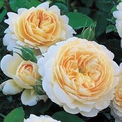 Anglická růže Davida Austina 'Emanuel' (Crocus rose) - Rosa S 'Emanuel' (Crocus rose)