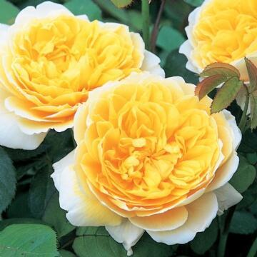 Anglická růže Davida Austina 'Charlotte' - Rosa S 'Charlotte'