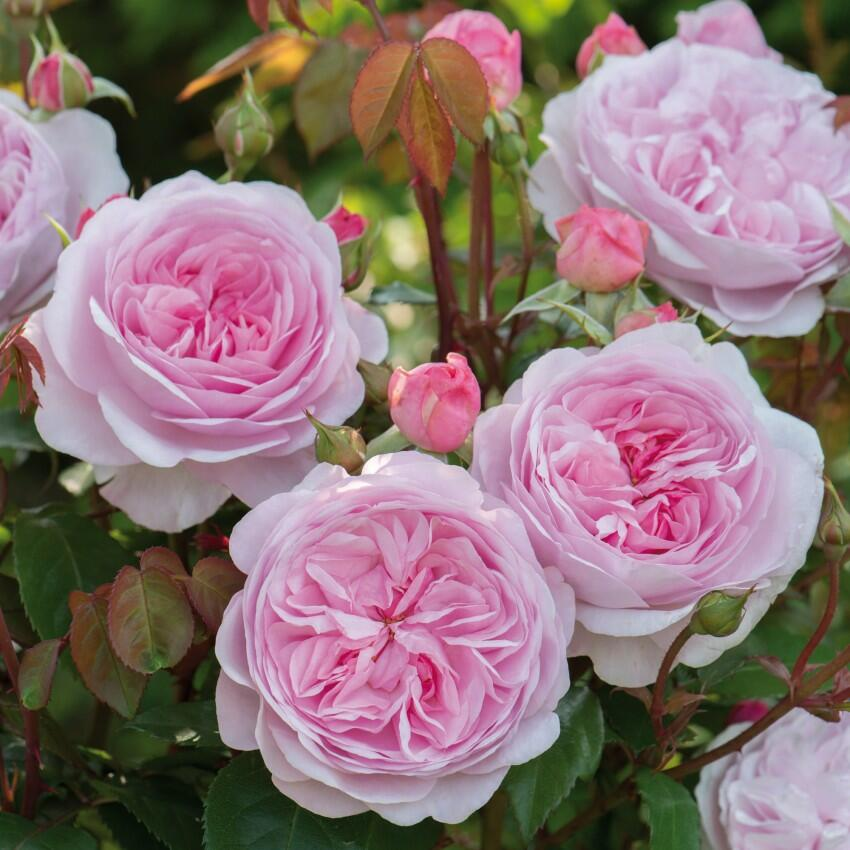 Anglická růže Davida Austina 'Olivia Rose Austin' - Rosa S 'Olivia Rose Austin'