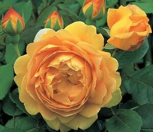 Anglická růže Davida Austina 'Golden Celebration' - Rosa S 'Golden Celebration'