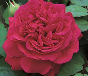 Anglická pnoucí růže Davida Austina 'Tess of The d'Urbervilles' - Rosa PN 'Tess of The d'Urbervilles'