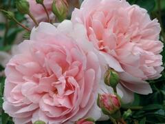 Anglická růže Davida Austina 'Wildeve' - Rosa S 'Wildeve'