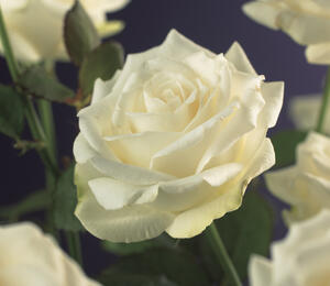 Růže pnoucí 'White Climber' - Rosa PN 'White Climber'