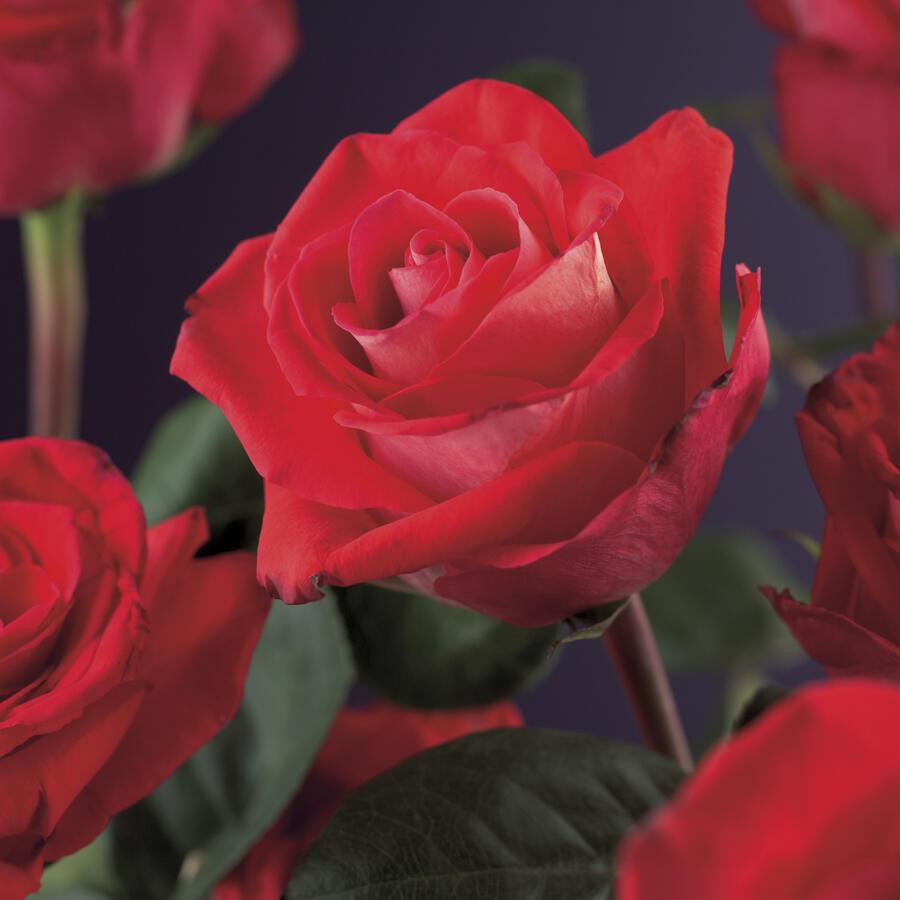 Růže pnoucí 'Red Climber' - Rosa PN 'Red Climber'