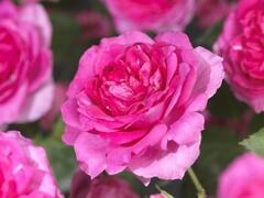 Růže pnoucí 'Pink Climber' - Rosa PN 'Pink Climber'