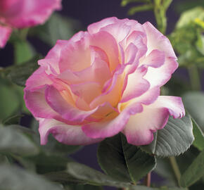Růže pnoucí 'Pink Candy' - Rosa PN 'Pink Candy'