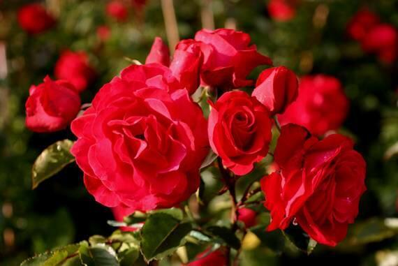 Růže pnoucí Kordes 'Heidelberg' - Rosa PN 'Heidelberg'