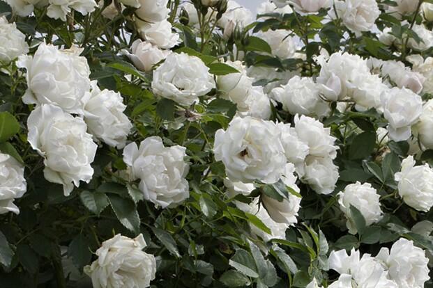 Růže půdopokryvná 'Alba Meidiland' - Rosa PK 'Alba Meidiland'