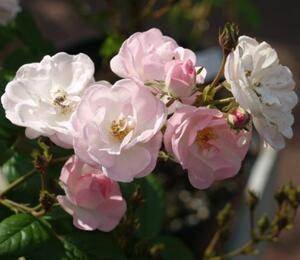 Rosa PN 'Blush Rambler' - Rosa PN 'Blush Rambler'