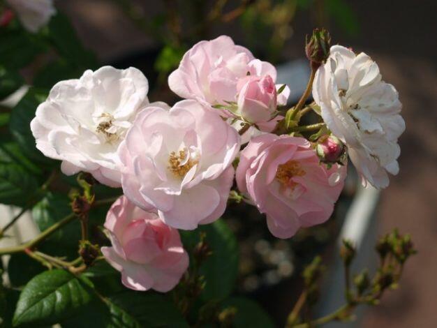 Růže pnoucí 'Blush Rambler' - Rosa PN 'Blush Rambler'